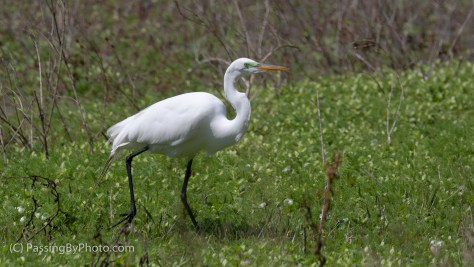 Great Egret Stopping for Snack