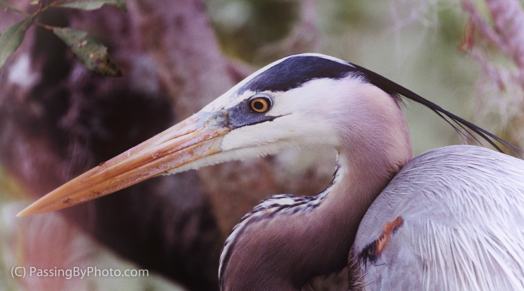 Great Blue Heron, Faded