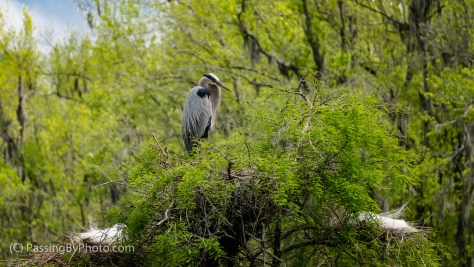 Great Blue Heron Watching Over Nest