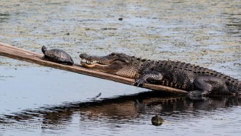 Alligator and Turtle on Ramp