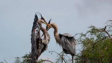 Great Blue Heron Pair Greeting