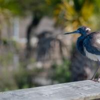Little Blue Heron: Ready, Rouse, Gone