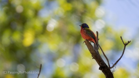 Male Painted Bunting Overhead