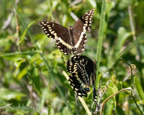 Black Swallowtail Butterfly Pair