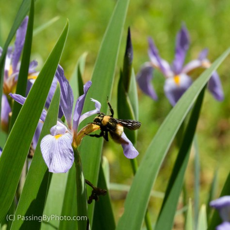 Bee on Purple Iris