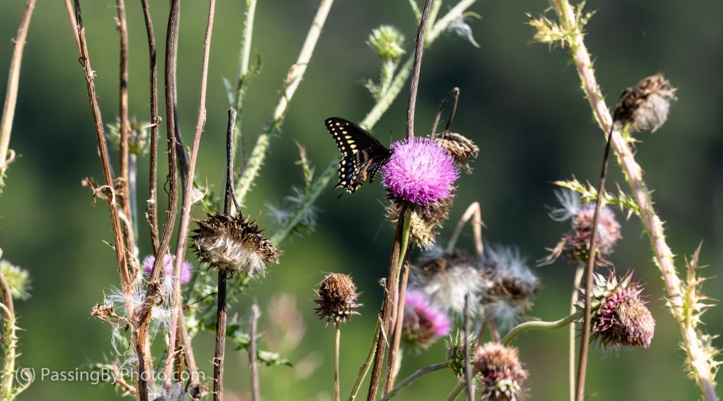 Black Swallowtail Butterfly on Thistle