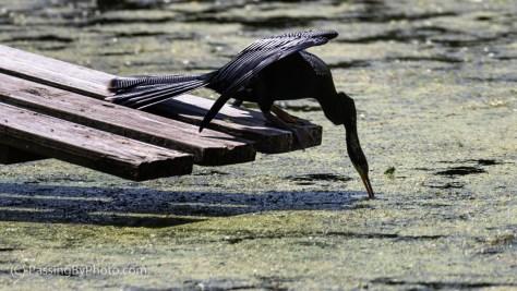 Anhinga Diving into Pond