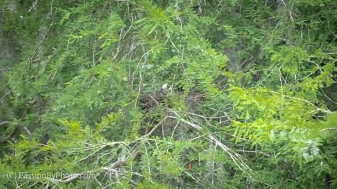 Yellow-crowned Night-heron on Nest