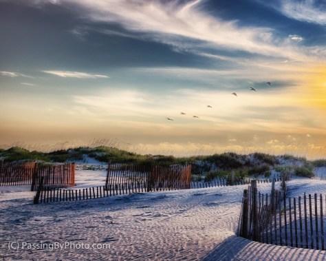 Brown Pelicans Over Dunes