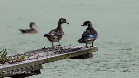 Wood Duck Duo on Alligator Platform