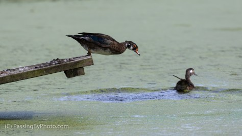 Wood Duck Duo, Second Jumps