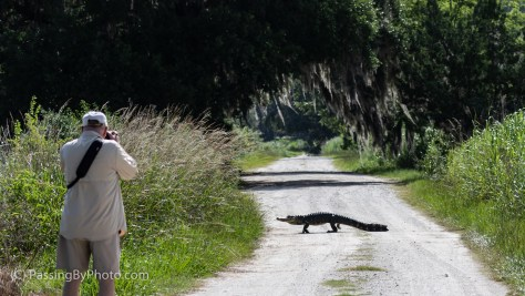 Photographing an Alligator Crossing the Road