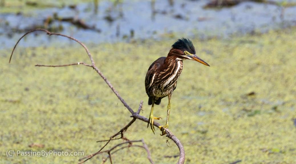 Green Heron on Stick