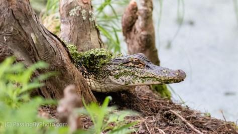 Young Alligator, Cypress Knees, Duckweed