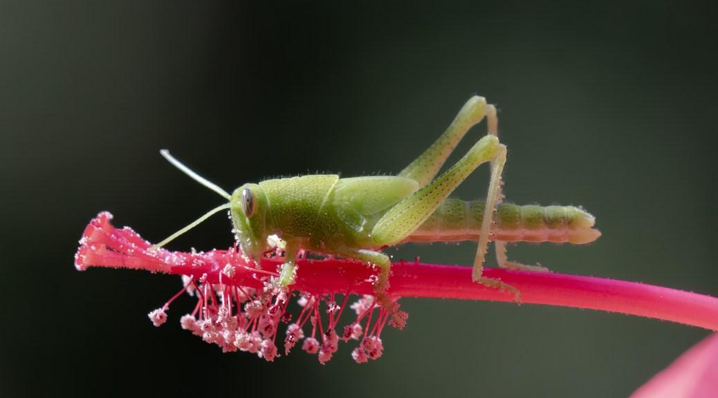 Katydid on Red Star Hibiscus