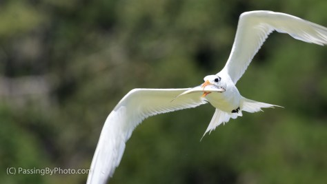 Tern Flying with Fish