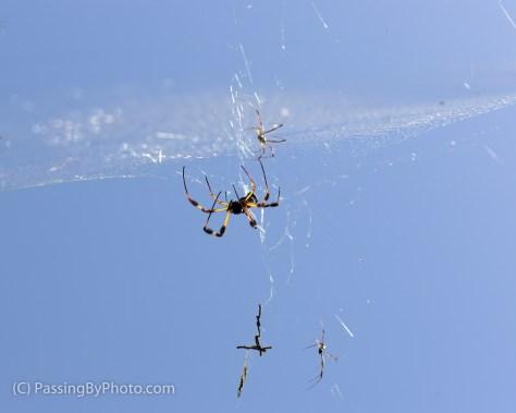 Golden silk orb-weavers in Web