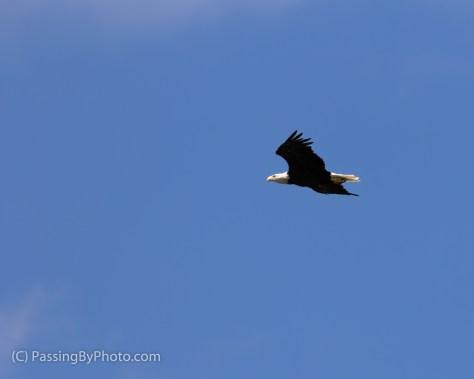 Eagle Flying In