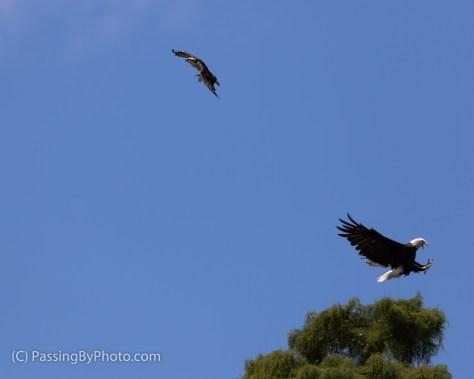 Osprey Challenging Eagle