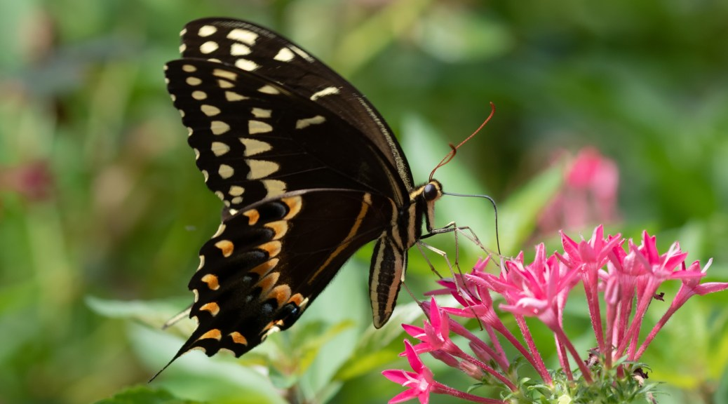 Black Swallowtail Butterfly