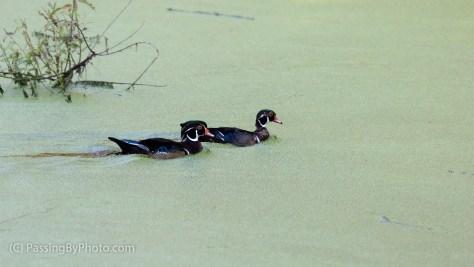 Two Male Wood Ducks