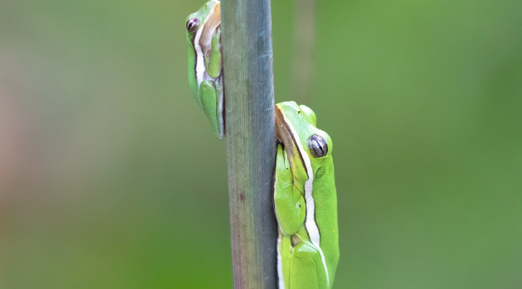 Two Tree Frogs on Reed