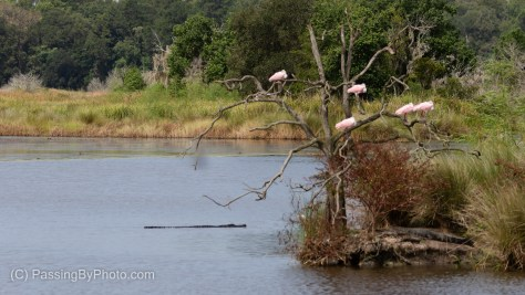 Alligators and Spoonbills