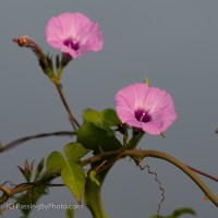 More Pink Morning Glories