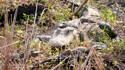 Alligator Mother and Young