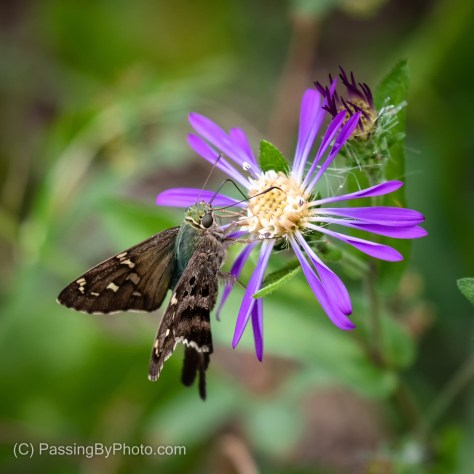 Long-tailed Skipper on Wild Aster