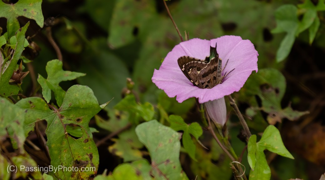 Long-tailed Skipper on Morning Glory