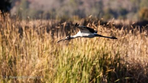 Wood Stork Flying In
