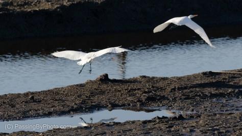 Great Egret Territorial Display