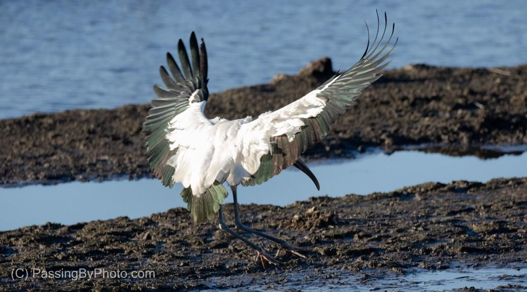 Wood Stork Landing
