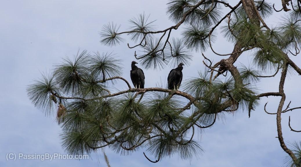 Black Vultures in Pine Trees
