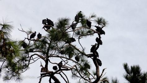 Black Vultures in PinBlack Vultures in Pine Treese Trees