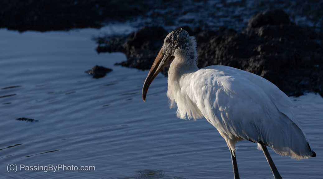 Wood Stork, Late Afternoon Light