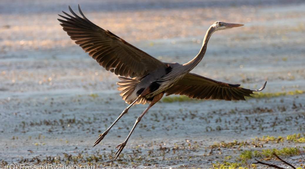 Great Blue Heron Flying to Pond Edge