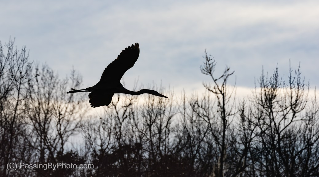 Great Blue Heron Flying Treetop