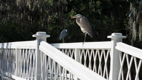 Great Blue Heron and Little Blue Heron on Long White Bridge