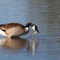 Canada Goose With A Treasure