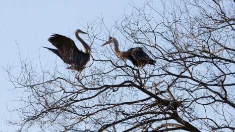 Great Blue Heron pair at Nest