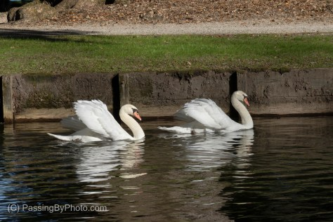 Pair of Mute Swans