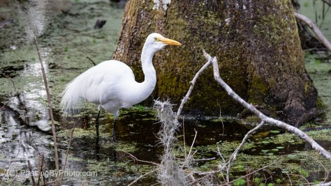 Great Egret Hunting In A Swamp