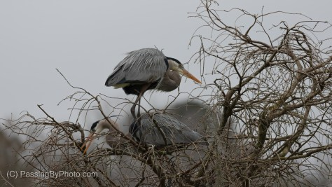 Great Blue Heron Pair Working On Nest