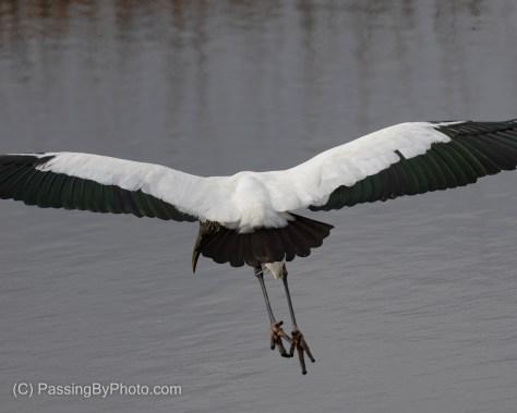 Wood Stork Flying Away