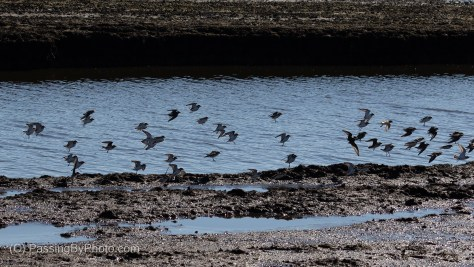 Flock of Plovers Coming in for Landing