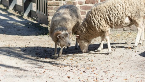 Two Sheep Cleaning Up Spilt Grain