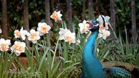 Peacock and Daffodils