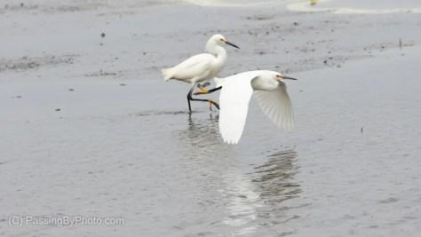 Snowy Egret Flying Past A Strutting Snowy Egret